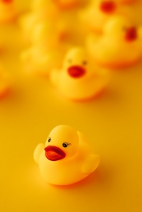 Rubber ducks in leadership concept, small yellow duckling leading forward the rest of the group.